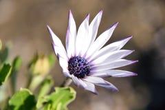 härlig blommapurple Royaltyfri Fotografi