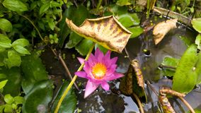 Härlig blommarosa färglotusblomma Royaltyfria Bilder