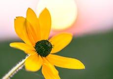 Härlig blommarudbeckia i strålarna av gryning royaltyfria foton
