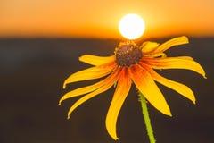 Härlig blommarudbeckia i strålarna av gryning Royaltyfri Bild