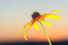 Härlig blommarudbeckia i strålarna av gryning Arkivfoton