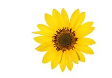 härlig blommasun Fotografering för Bildbyråer