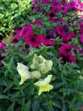 Härlig blommatapet för gul toadflax royaltyfri fotografi