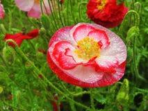 härlig blommavallmo Royaltyfri Bild