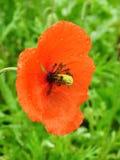 härlig blommavallmo Arkivfoto