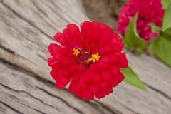 Härlig blomning för röd zinniablomma på suddighetsnaturbakgrund arkivfoton