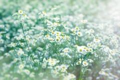 Härlig blomning i våren - tusenskönablomma royaltyfri fotografi