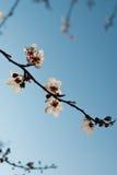 Härlig blomning - Sakura Bakgrund med blommor på en fjädradag Arkivfoto