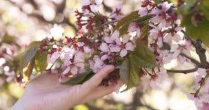 Härlig blomning sakura för kvinnligt tonårigt handhandlag för körsbärsrött träd Arkivfoto