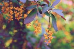 Härlig blomningbarberry Rendered avbildar Arkivfoto