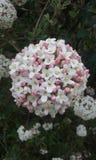 Härlig blomningbuske royaltyfria foton