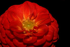 härlig blomningdahliared Arkivbild