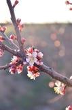 Härlig blomningkörsbär Arkivfoto