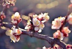 Härlig blomningkörsbär Royaltyfri Bild