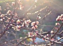 Härlig blomningkörsbär Royaltyfri Foto