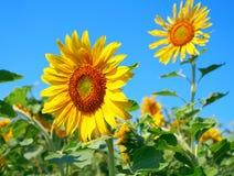 härlig blomningsolros Arkivbilder