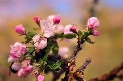 Härlig blomningukrainarekörsbär Bakgrund med blommor på Fotografering för Bildbyråer
