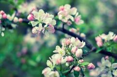 Härlig blomningukrainarekörsbär Bakgrund med blommor på Arkivfoton