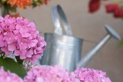 härlig blomningvanlig hortensia royaltyfri foto