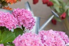 härlig blomningvanlig hortensiapink royaltyfria bilder