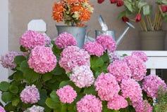 härlig blomningvanlig hortensiapink Royaltyfri Bild