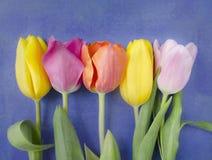 Härlig blomstra tulpanblomma illustration för design för bakgrundbakgrundskort blom- mot bakgrund field blåa oklarheter för grön  Arkivfoto