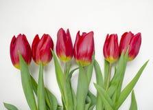 Härlig blomstra tulpanblomma illustration för design för bakgrundbakgrundskort blom- mot bakgrund field blåa oklarheter för grön  Fotografering för Bildbyråer