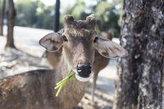 Härlig bock med klippt äta för horn som är vetgetable, gräs eller bladet fr Arkivfoto