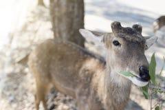 Härlig bock med klippt äta för horn som är vetgetable, gräs eller bladet fr Royaltyfri Bild