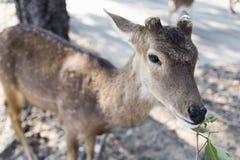Härlig bock med klippt äta för horn som är vetgetable, gräs eller bladet fr Royaltyfri Foto