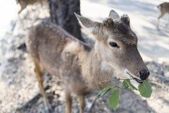 Härlig bock med klippt äta för horn som är vetgetable, gräs eller bladet fr Royaltyfri Fotografi