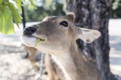 Härlig bock med klippt äta för horn som är vetgetable, gräs eller bladet fr Royaltyfria Foton