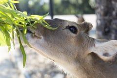 Härlig bock med klippt äta för horn som är vetgetable, gräs eller bladet fr Arkivbild