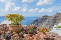 Härlig bonsai på bakgrunden av den suddiga calderaen av den Santorini (Thira) ön Royaltyfri Foto