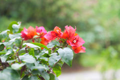 Härlig bonsaibougainvillea Royaltyfri Fotografi