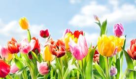 Härlig botanisk bakgrund av vårtulpan Fotografering för Bildbyråer