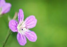Härlig bräcklig rosa färgblomma i skogen Royaltyfria Foton
