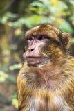 Härlig bröstkorgstående av en sylvanus för macaca för barbary apa Arkivbild