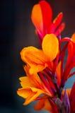 Härlig brandblomma Royaltyfria Bilder