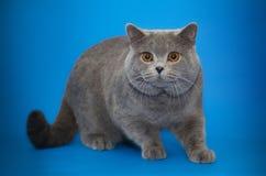 Härlig brittisk katt på studiobakgrund Royaltyfri Fotografi