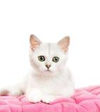 härlig brittisk kattunge Fotografering för Bildbyråer