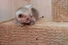 Härlig brittisk kattunge för grå vit som ligger på katthus och ner ser Royaltyfri Bild