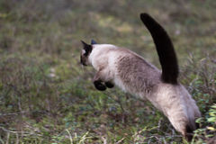 Härlig brun banhoppning för siamese katt Royaltyfri Foto