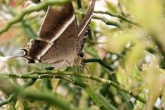 härlig brun fjäril royaltyfri bild