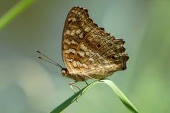 Härlig brun fjäril på det tunna bladet Royaltyfria Bilder