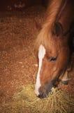 härlig brun häst Arkivfoton