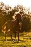 härlig brun häst Royaltyfria Foton