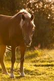 härlig brun häst Royaltyfri Bild