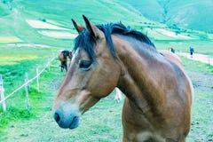 härlig brun häst Arkivbilder