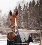 härlig brun häst Arkivfoto